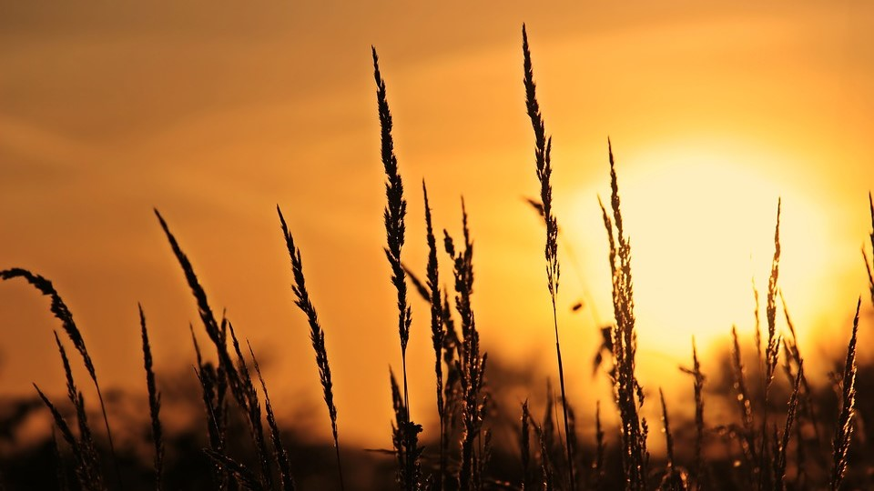 sunrise behind grain stalks